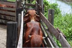 Koeien in de kraal